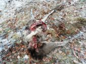 Jelienča pravdepodobne strhnuté vlkmi