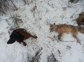 BF Zoran 5,5 mesiaca- Dohladávka líšky po cca 14hod.