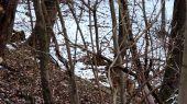Vlk Dravý ( Canis lupus ) Branisko