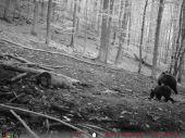 Medvedica s mláďaťom
