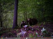 Párenie medveďov
