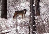 prekrasny zazitok s vlkmi....