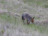 Ohrozená líška.